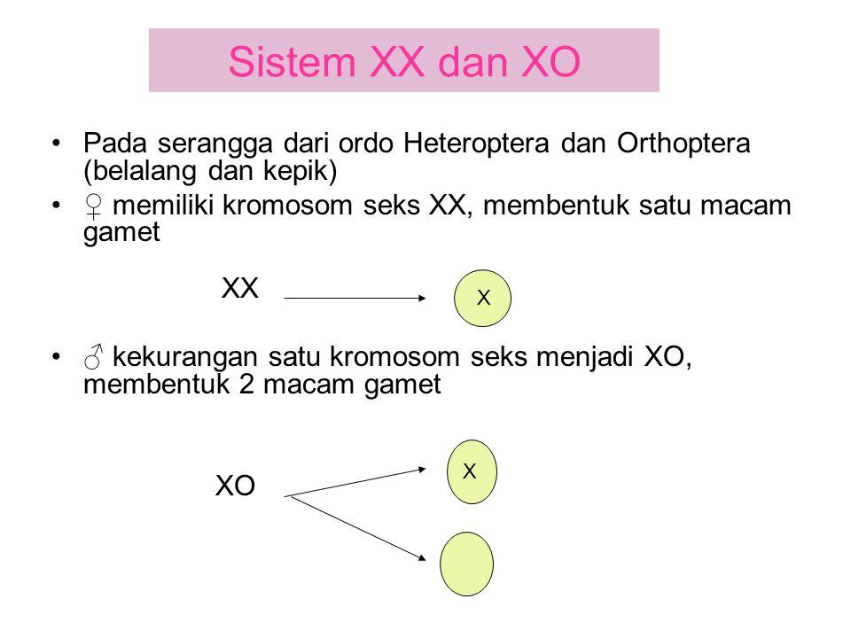 Sistem XX dan XO Pada serangga dari ordo Heteroptera dan Orthoptera (belalang dan kepik) ♀ memiliki kromosom seks XX, membentuk satu macam gamet XX ♂