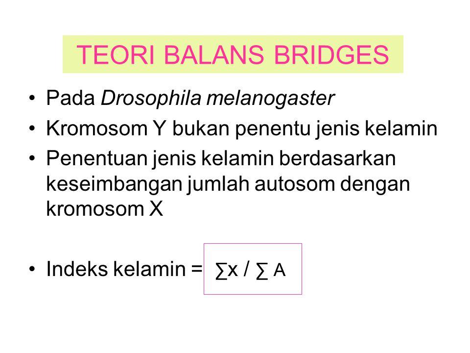 TEORI BALANS BRIDGES Pada Drosophila melanogaster Kromosom Y bukan penentu jenis kelamin Penentuan jenis kelamin berdasarkan keseimbangan jumlah autos