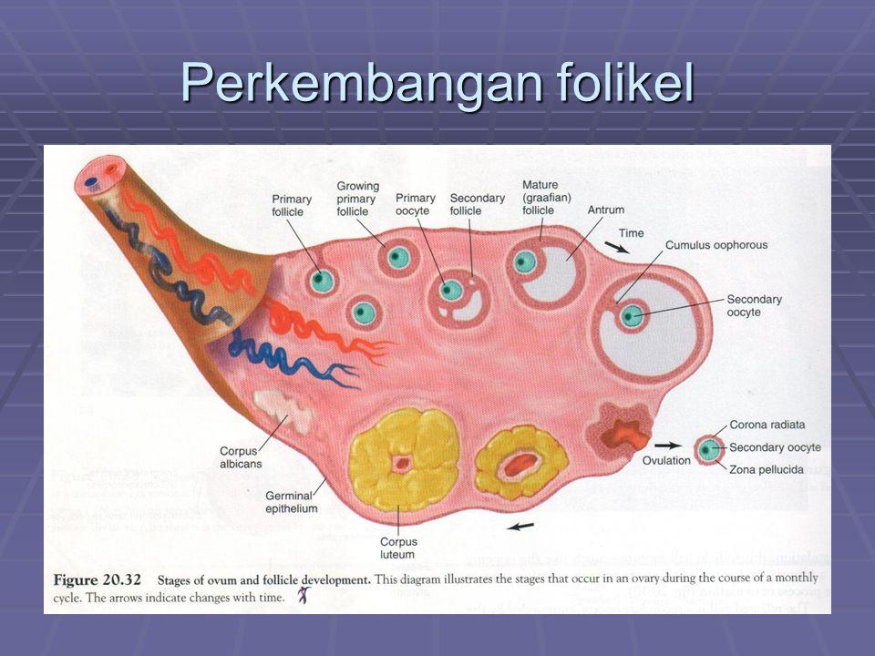 Luteinisasi  s/ perubahan sel-sel teka & granulosa mengalami perubahan fisik & kimia   korpus luteum  Tjd pd hari terakhir sebelum ovulasi dan diteruskan 1 hari atau lebih setlah ovulasi  Dipengaruhi LH (adanya LH: korpus luteum tumbuh, sekresi , hidup > lama)