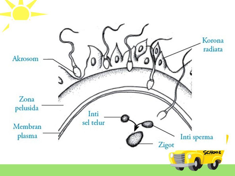 Fertilisasi Untuk menembus ketiga lapisan pelindung sel telur, sperma mengeluarkan enzim-enzim yang tersimpan pada akrosom.