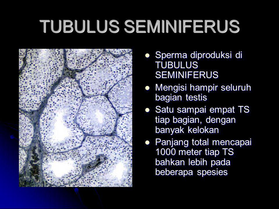 TUBULUS SEMINIFERUS Sperma diproduksi di TUBULUS SEMINIFERUS Sperma diproduksi di TUBULUS SEMINIFERUS Mengisi hampir seluruh bagian testis Mengisi ham