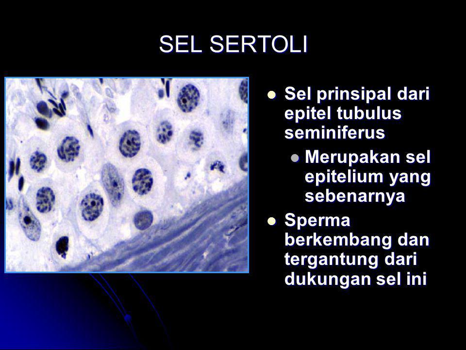 SEL SERTOLI Sel prinsipal dari epitel tubulus seminiferus Sel prinsipal dari epitel tubulus seminiferus Merupakan sel epitelium yang sebenarnya Sperma