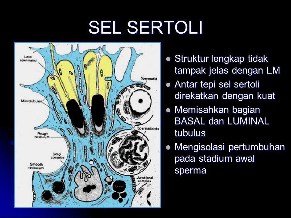 SEL SERTOLI Struktur lengkap tidak tampak jelas dengan LM Antar tepi sel sertoli direkatkan dengan kuat Memisahkan bagian BASAL dan LUMINAL tubulus Me