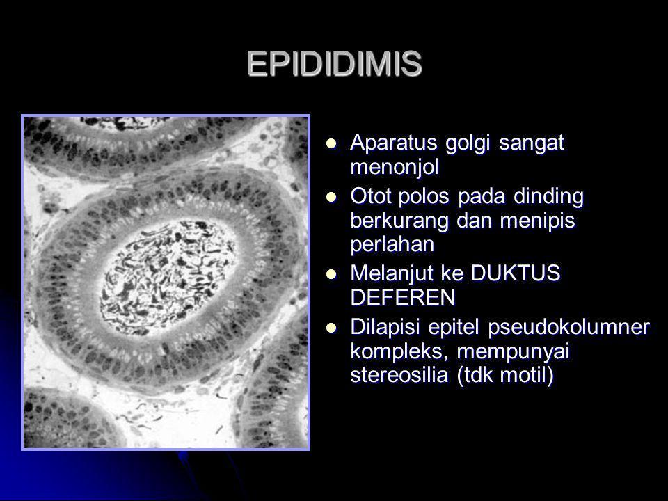 EPIDIDIMIS Aparatus golgi sangat menonjol Aparatus golgi sangat menonjol Otot polos pada dinding berkurang dan menipis perlahan Otot polos pada dindin