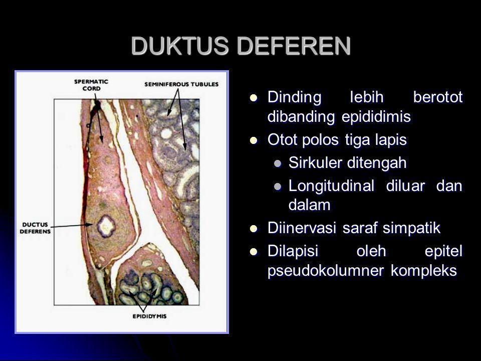 DUKTUS DEFEREN Dinding lebih berotot dibanding epididimis Dinding lebih berotot dibanding epididimis Otot polos tiga lapis Otot polos tiga lapis Sirku