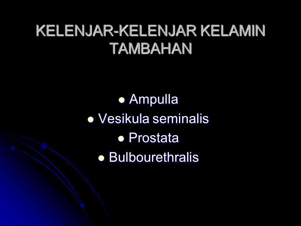 KELENJAR-KELENJAR KELAMIN TAMBAHAN Ampulla Ampulla Vesikula seminalis Vesikula seminalis Prostata Prostata Bulbourethralis Bulbourethralis