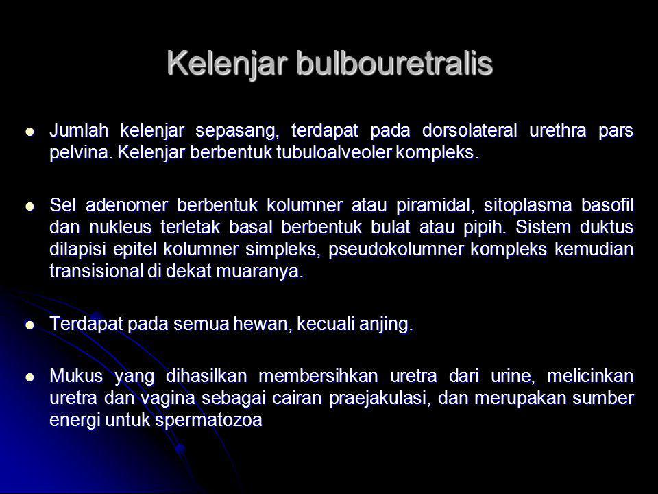Kelenjar bulbouretralis Jumlah kelenjar sepasang, terdapat pada dorsolateral urethra pars pelvina. Kelenjar berbentuk tubuloalveoler kompleks. Jumlah