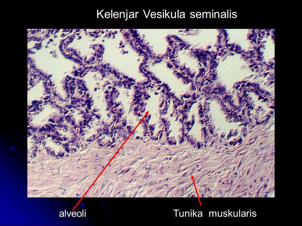 Kelenjar Vesikula seminalis alveoli Tunika muskularis