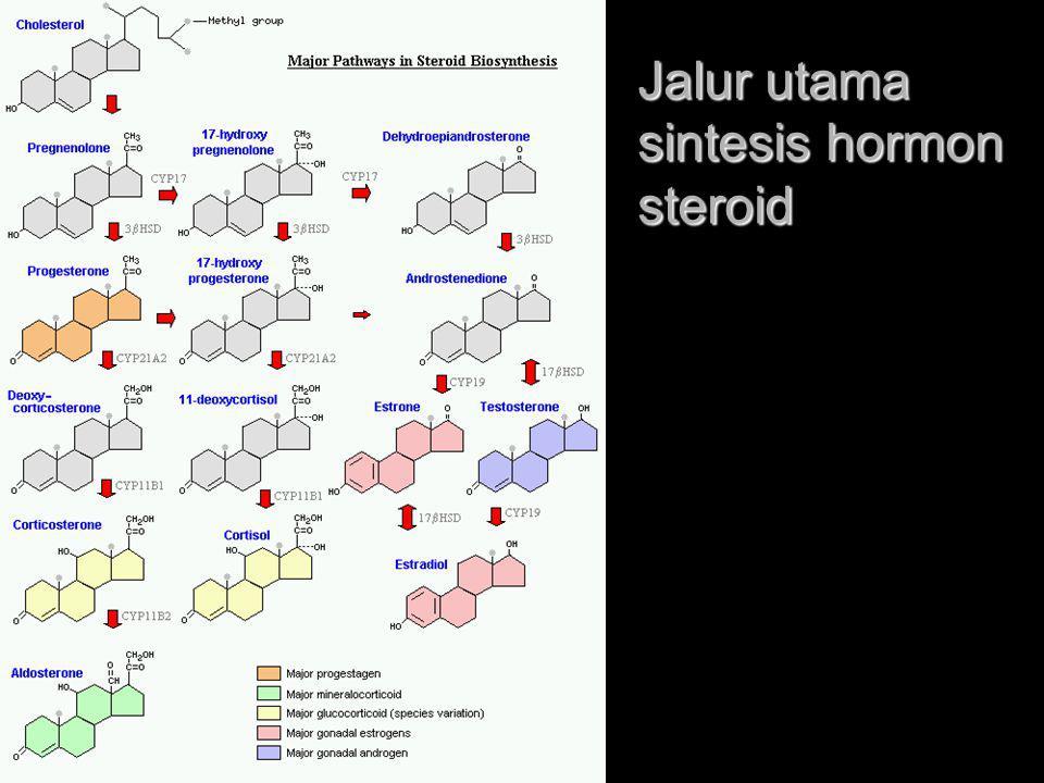 Jalur utama sintesis hormon steroid