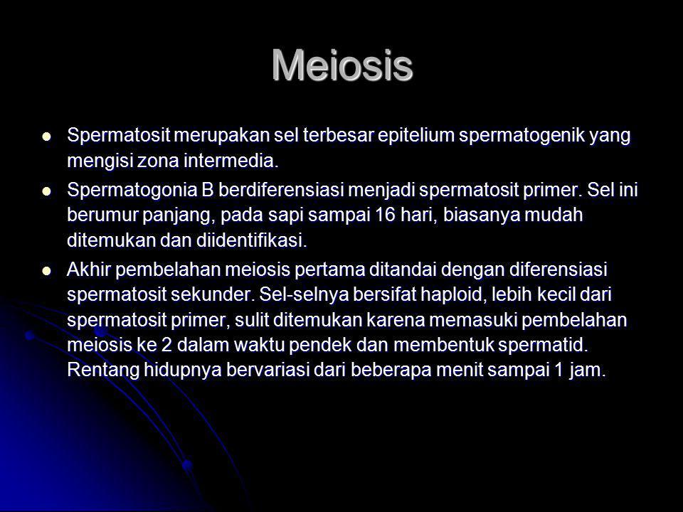 Meiosis Spermatosit merupakan sel terbesar epitelium spermatogenik yang mengisi zona intermedia. Spermatosit merupakan sel terbesar epitelium spermato