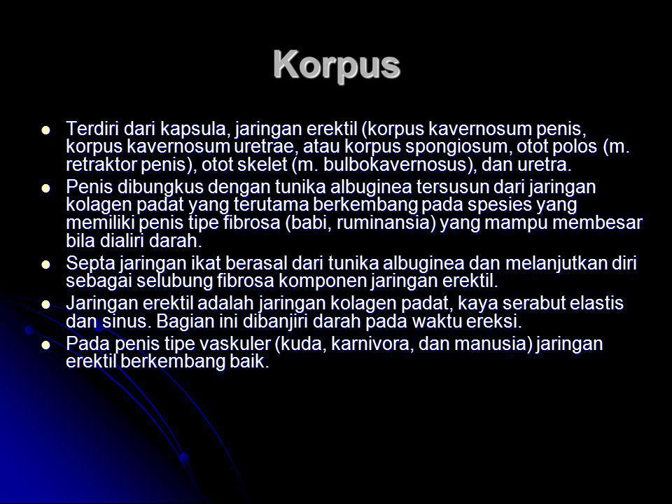 Korpus Terdiri dari kapsula, jaringan erektil (korpus kavernosum penis, korpus kavernosum uretrae, atau korpus spongiosum, otot polos (m. retraktor pe