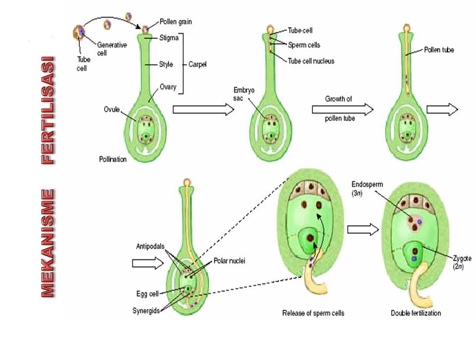 Endosperm Masak Pada monokotil, perkembangan endosperm mencapai maksimum pada saat benih mencapai masak fisiologi.