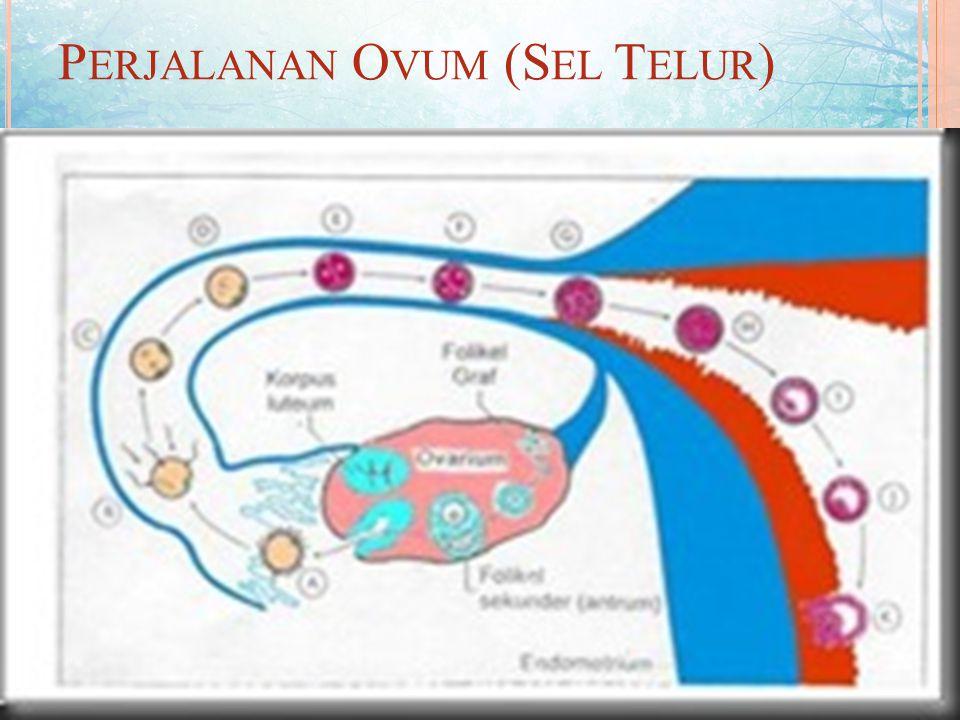 T RANSPOR OVUM Perjalanan ovum menuju tempat terjadinya fertilisasi dikelompokkan menjadi tiga daerah, yaitu : 1. Perjalanan menuju peritonium. 2. Per