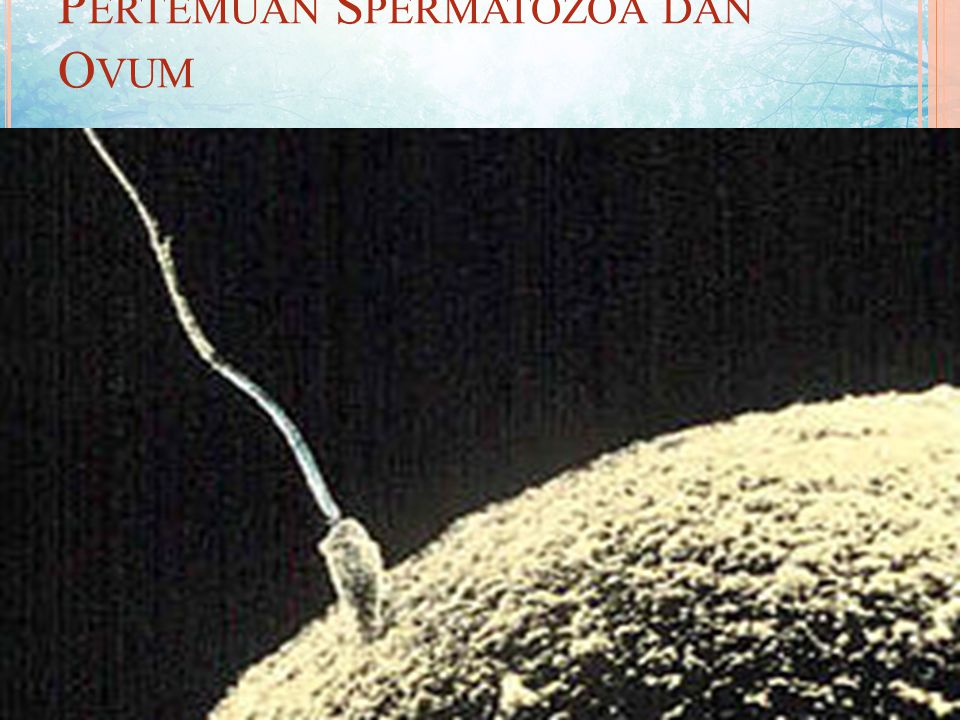 PENGERTIAN FERTILISASI Fertilisasi (singami) adalah peleburan dua gamet yang dapat berupa nukleus atau sel-sel bernukleus untuk membentuk sel tunggal