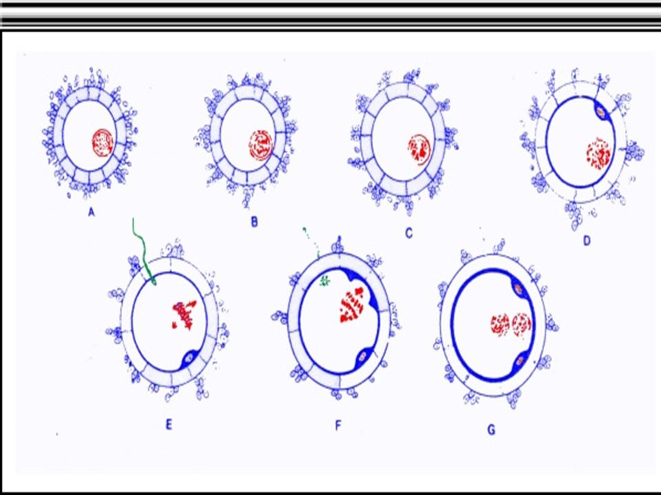 T AHAP - TAHAP FERTILISASI Adapun tahap-tahap dari fertilisasi adalah sebagai berikut : 1. Kontak antara membran sel telur dengan membran spermatozoa.