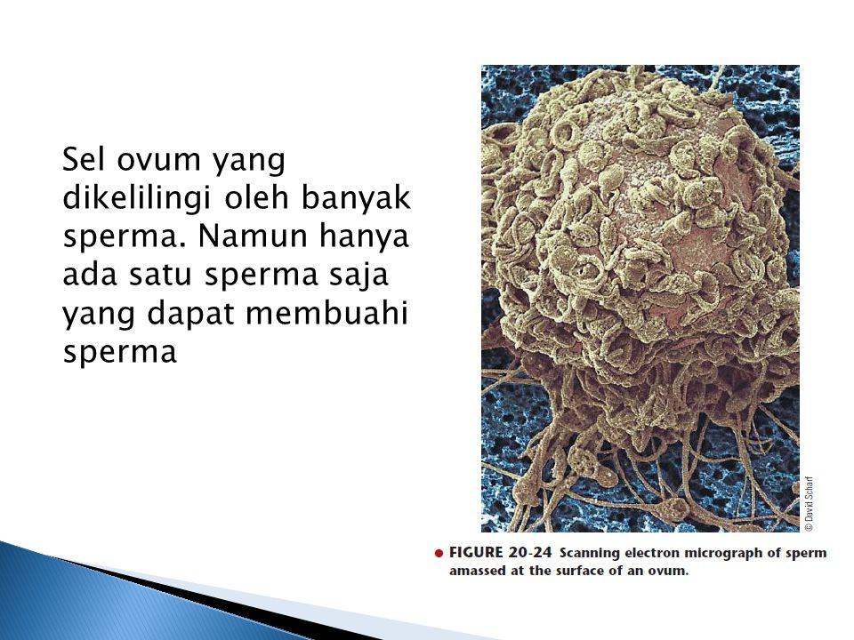 Sel ovum yang dikelilingi oleh banyak sperma.