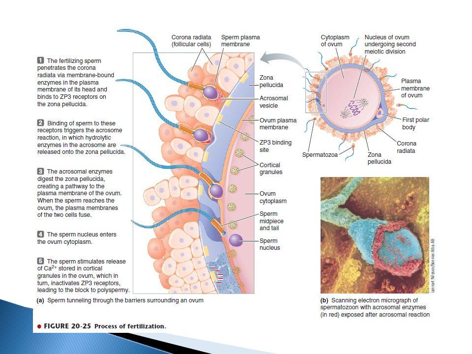  Setelah terjadi fertilisasi, sel ovum akan bertahan di tuba falopii selama 3-4 hari.