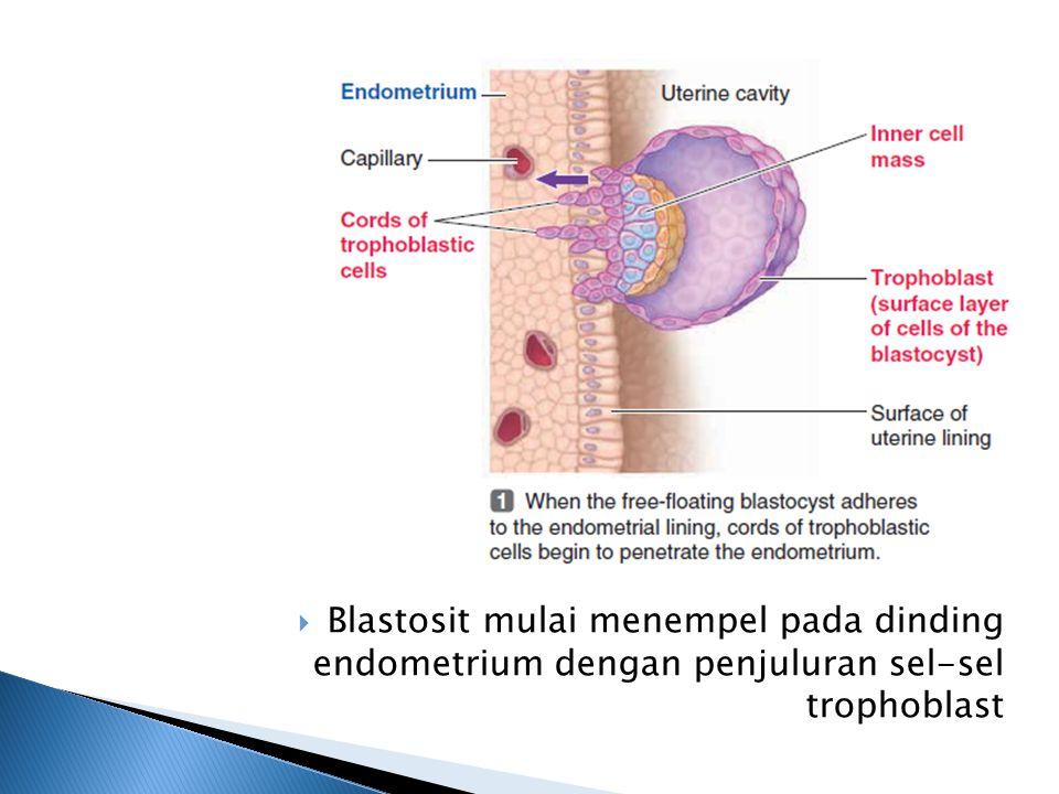  Trophoblas kehilangan membran selnya sehingga menjadi lapisan multi nukleus (tanpa membran sel)  Daerah tempat melekatnya blastosit disebut decidua yang merupakan daerah kaya pembuluh darah dan nutrisi