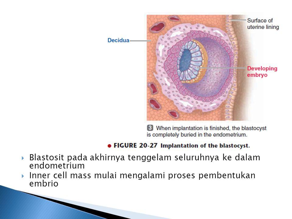  Blastosit pada akhirnya tenggelam seluruhnya ke dalam endometrium  Inner cell mass mulai mengalami proses pembentukan embrio