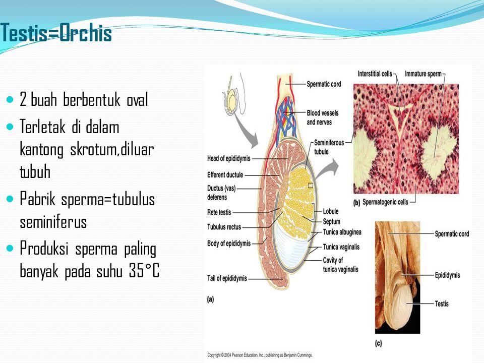 Testis=Orchis 2 buah berbentuk oval Terletak di dalam kantong skrotum,diluar tubuh Pabrik sperma=tubulus seminiferus Produksi sperma paling banyak pada suhu 35°C