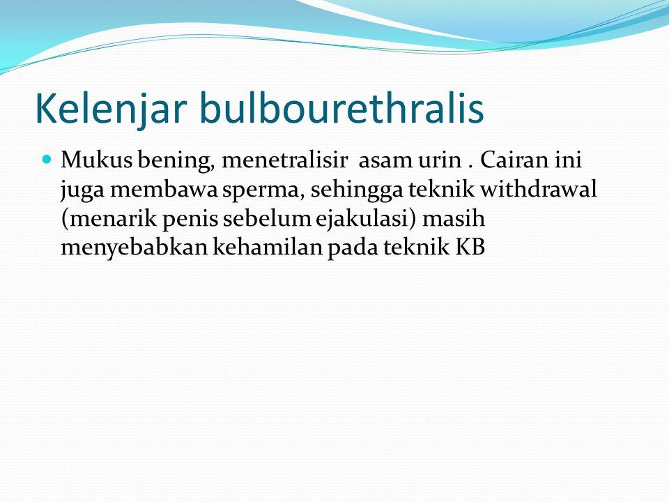 Kelenjar bulbourethralis Mukus bening, menetralisir asam urin.