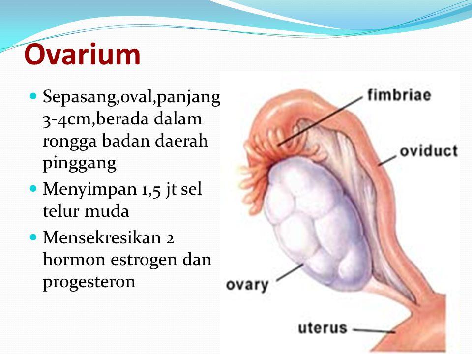 Ovarium Sepasang,oval,panjang 3-4cm,berada dalam rongga badan daerah pinggang Menyimpan 1,5 jt sel telur muda Mensekresikan 2 hormon estrogen dan progesteron