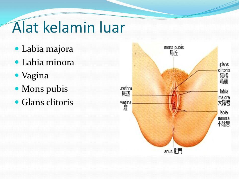 Alat kelamin luar Labia majora Labia minora Vagina Mons pubis Glans clitoris