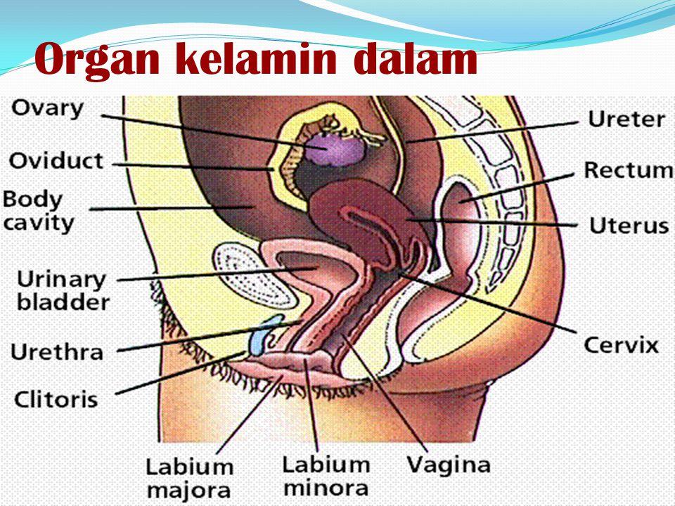 Organ kelamin dalam