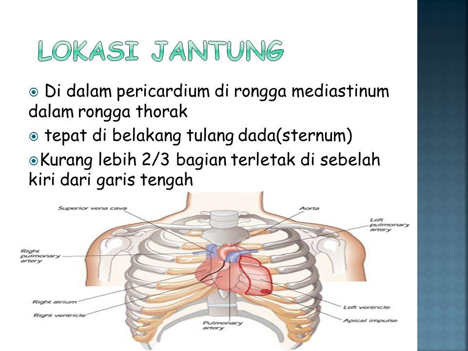  Di dalam pericardium di rongga mediastinum dalam rongga thorak  tepat di belakang tulang dada(sternum)  Kurang lebih 2/3 bagian terletak di sebela