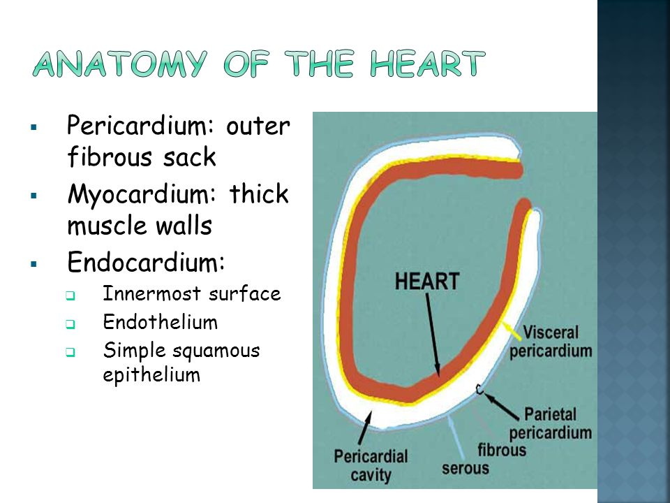  Pericardium: outer fibrous sack  Myocardium: thick muscle walls  Endocardium:  Innermost surface  Endothelium  Simple squamous epithelium