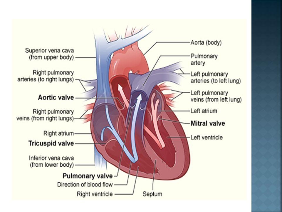  Arteri koroner adalah cabang pertama dari sirkulasi sistemik.