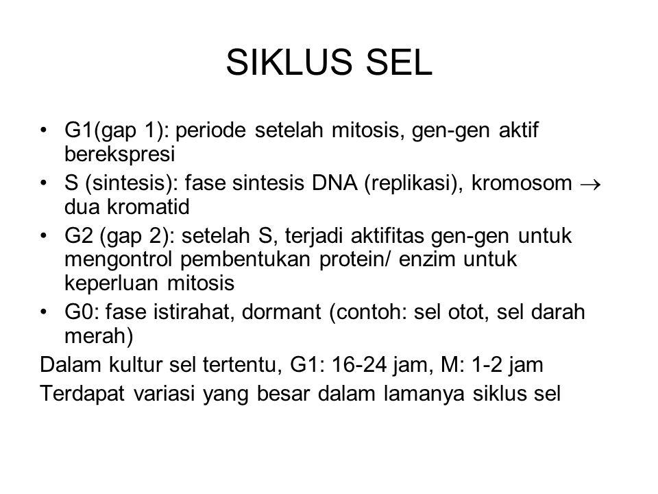 SIKLUS SEL G1(gap 1): periode setelah mitosis, gen-gen aktif berekspresi S (sintesis): fase sintesis DNA (replikasi), kromosom  dua kromatid G2 (gap