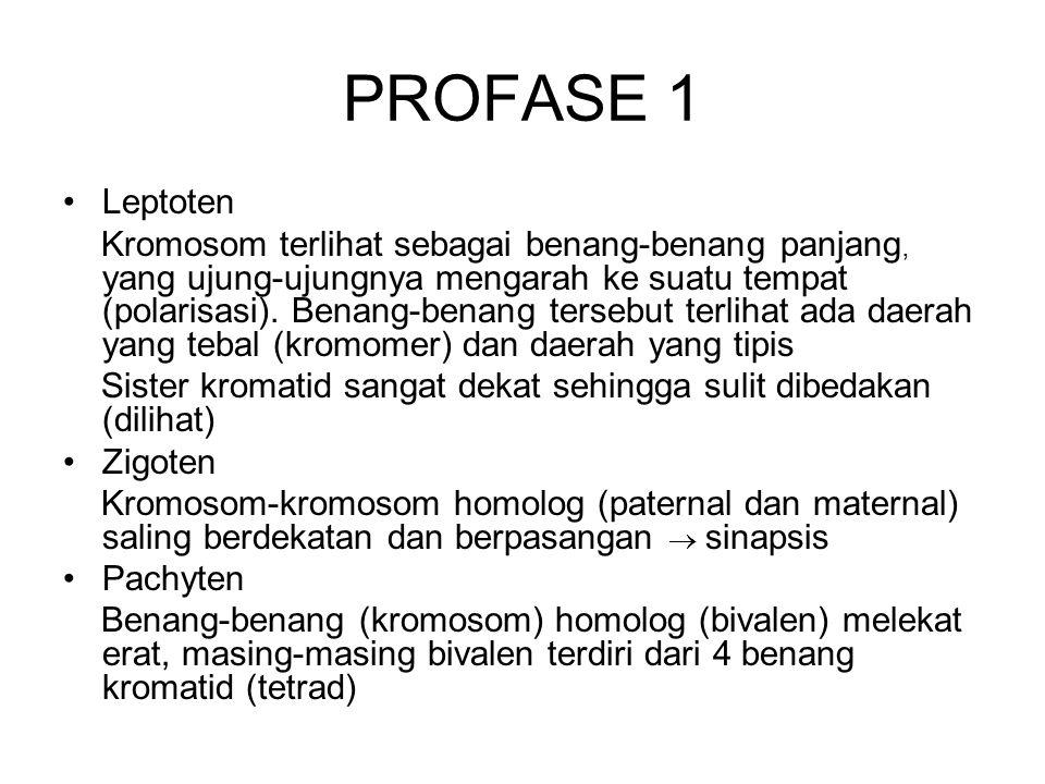 Profase 1 Diploten Benang-benang kromosom homolog meregangkan diri (2 kromatid  4 kromatid), namun masih ada bagian-bagian yang melekat (khiasmata).