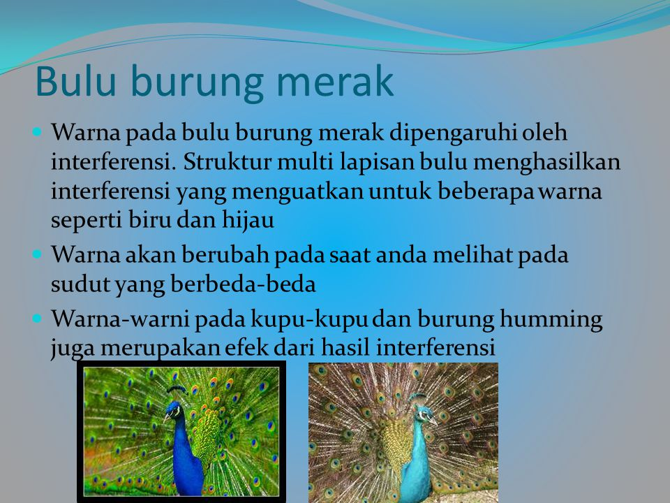Bulu burung merak Warna pada bulu burung merak dipengaruhi oleh interferensi.