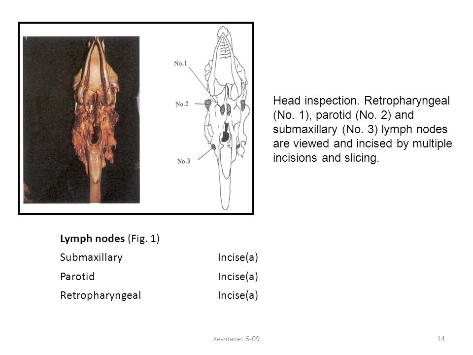 kesmavet 6-0914 Lymph nodes (Fig.