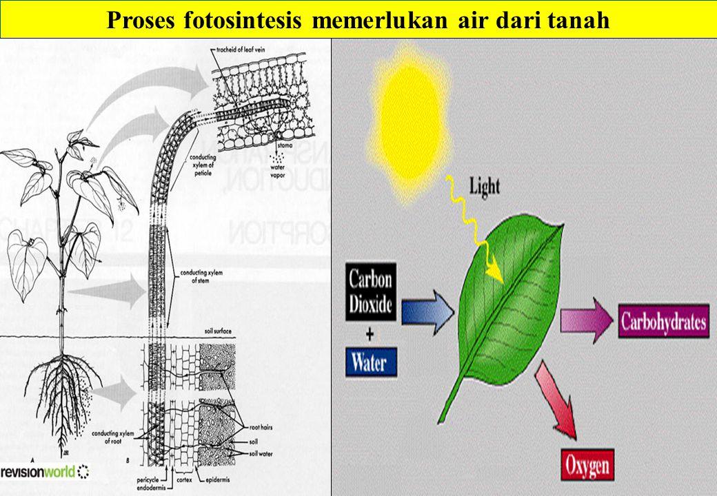 Air dari tanah CO2 dari Udara Fotosintesis: CO2 + H2O ---- Karbohidrat (Glukosa) Glukosa Pati dan senyawa organik lain dalam buah dan biji