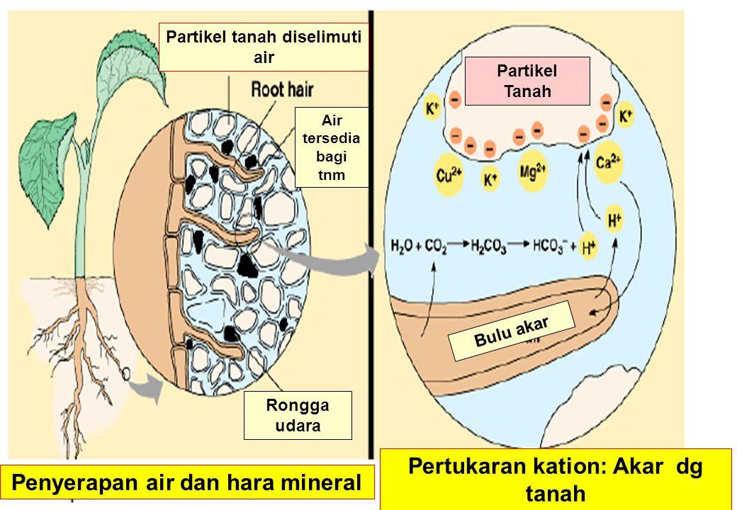 Penyerapan air dan hara mineral Pertukaran kation: Akar dg tanah Partikel Tanah Bulu akar Rongga udara Partikel tanah diselimuti air Air tersedia bagi