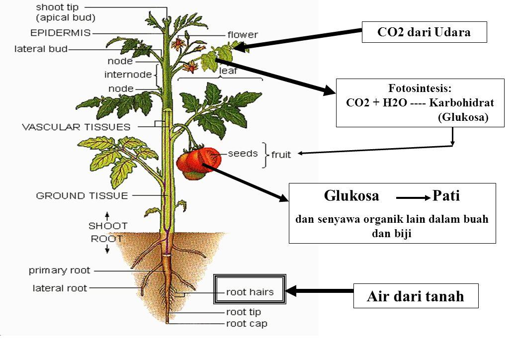 Stomata: Pintu lalulintas CO2, O2, dan H2O Fotosintesis: CO2 + H2O Karbohidrat (Glukosa) CO2 dari Udara Glukosa Pati dan senyawa organik lain dalam biji Air dari tanah