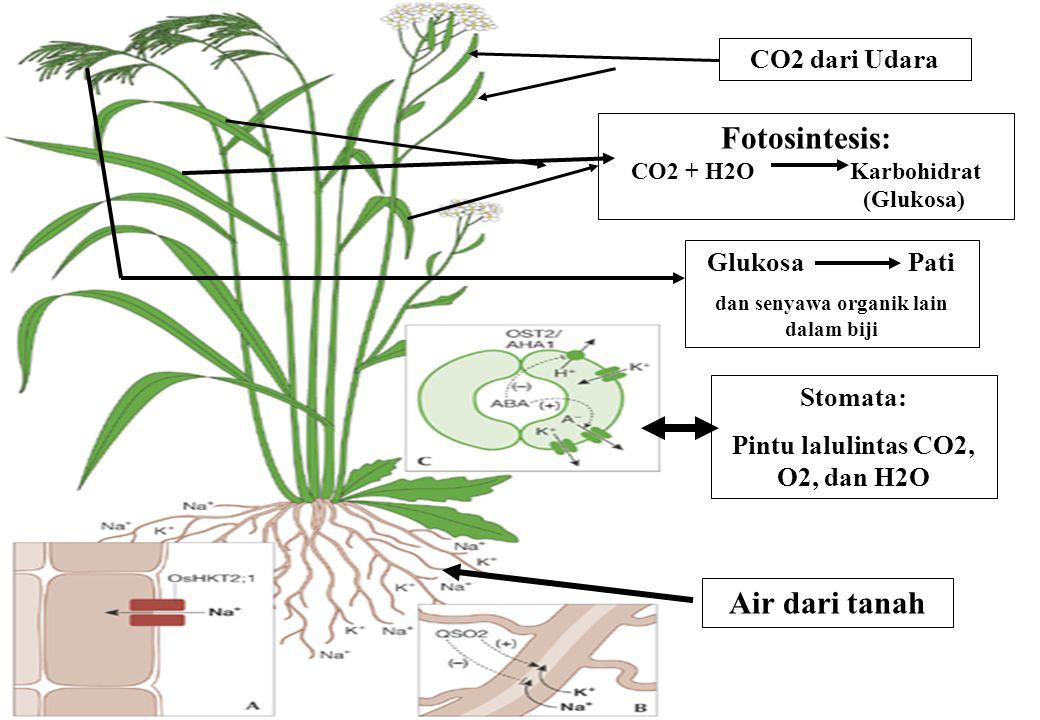 Stomata: Pintu lalulintas CO2, O2, dan H2O Fotosintesis: CO2 + H2O Karbohidrat (Glukosa) CO2 dari Udara Glukosa Pati dan senyawa organik lain dalam bi