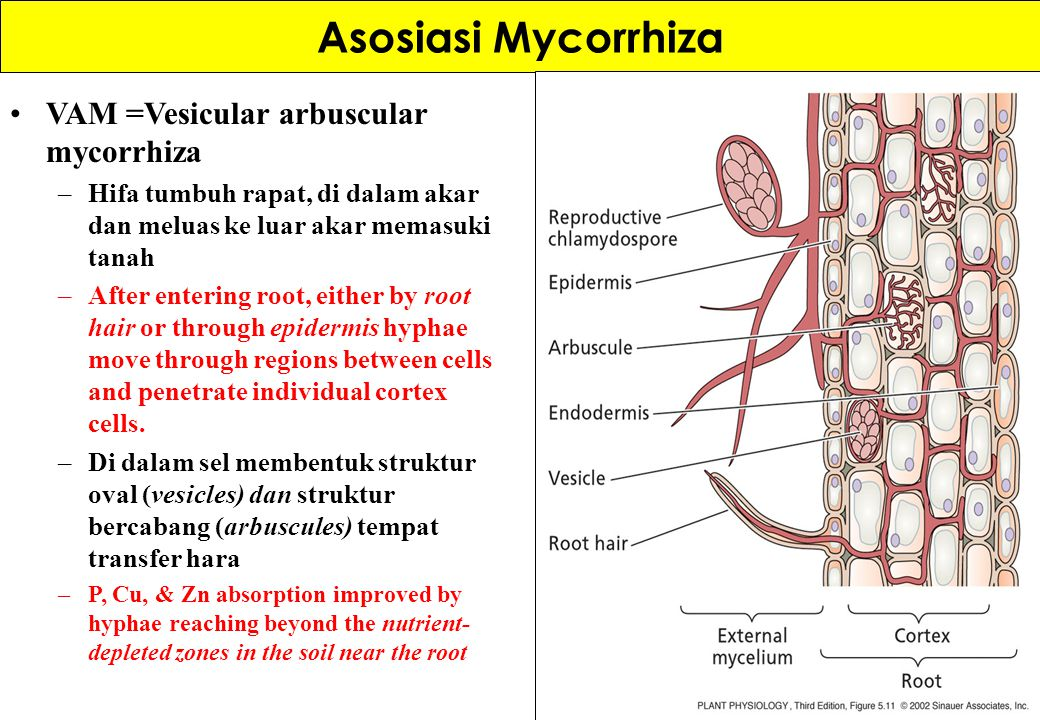 Asosiasi Mycorrhiza VAM =Vesicular arbuscular mycorrhiza –Hifa tumbuh rapat, di dalam akar dan meluas ke luar akar memasuki tanah –After entering root