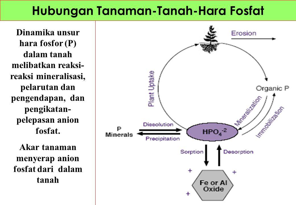 Dinamika unsur hara fosfor (P) dalam tanah melibatkan reaksi- reaksi mineralisasi, pelarutan dan pengendapan, dan pengikatan- pelepasan anion fosfat.