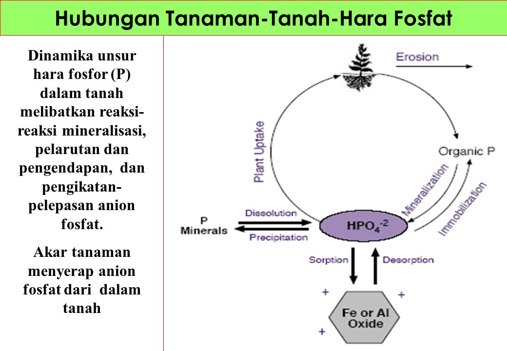 Dinamika unsur hara belerang dalam tanah melibatkan reaksi-reaksi mineralisasi belerang dari bahan organik, oksidasi- reduksi dan pengikatan- pelepasan.