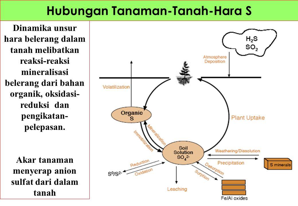 Dinamika unsur hara belerang dalam tanah melibatkan reaksi-reaksi mineralisasi belerang dari bahan organik, oksidasi- reduksi dan pengikatan- pelepasa