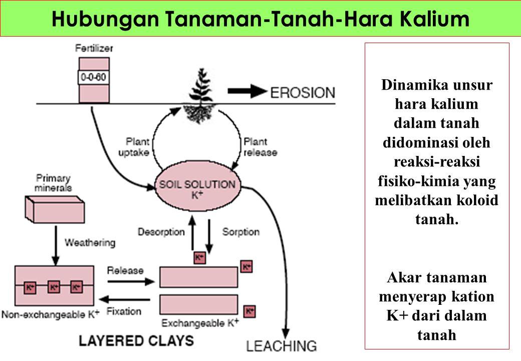 Dinamika unsur hara kalsium dan magnesium dalam tanah melibatkan reaksi-reaksi pertukaran kation yang dikendalikan oleh sifat-sifat koloidal tanah.