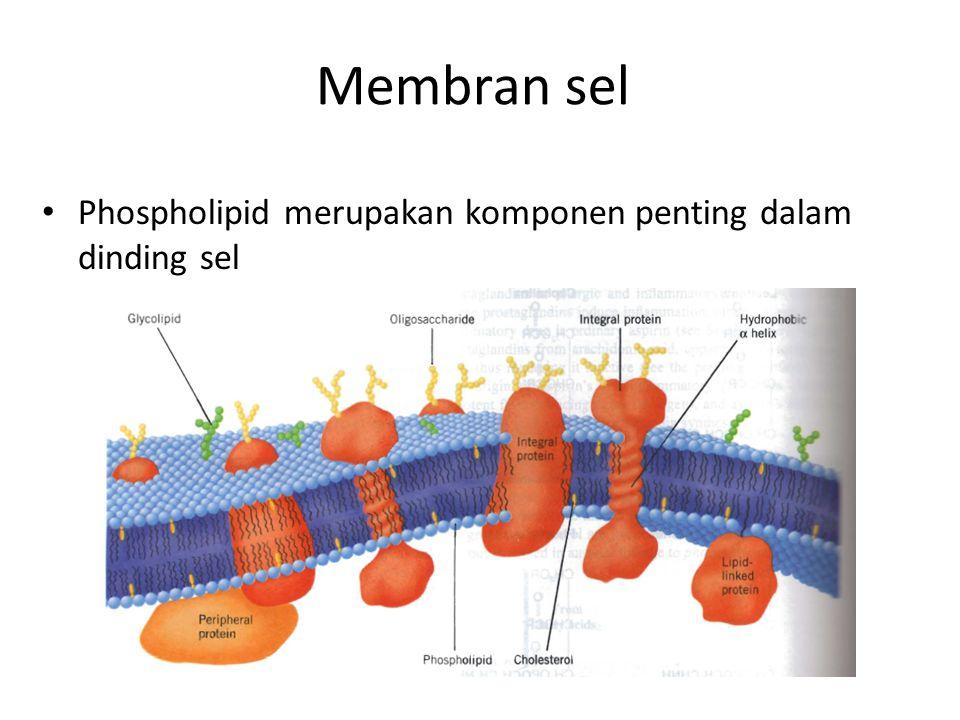 Membran sel Phospholipid merupakan komponen penting dalam dinding sel