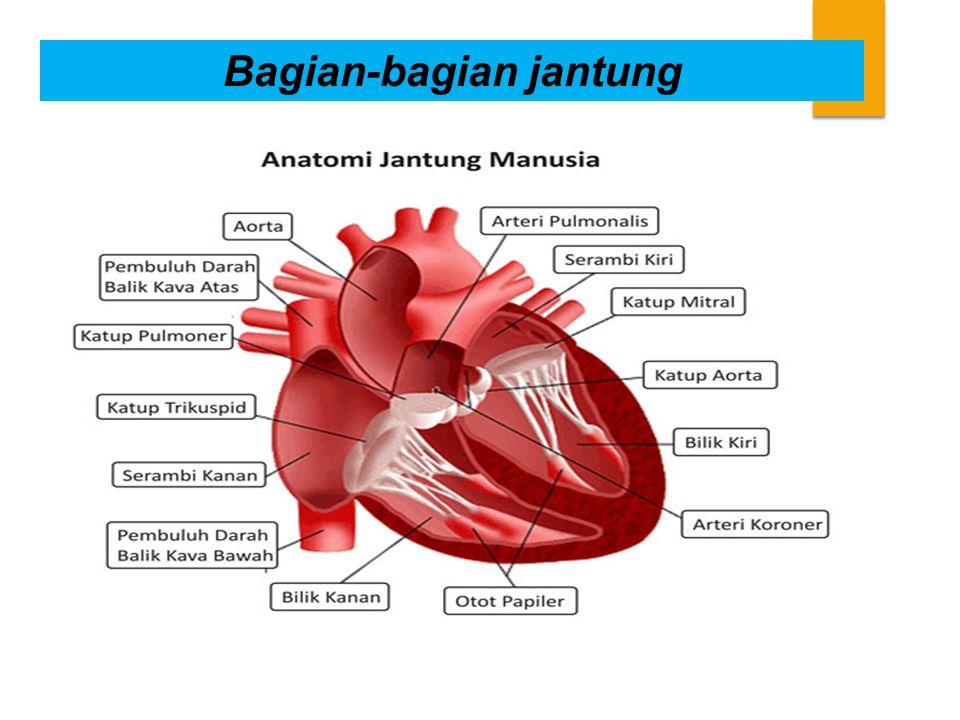 Bagian-bagian jantung