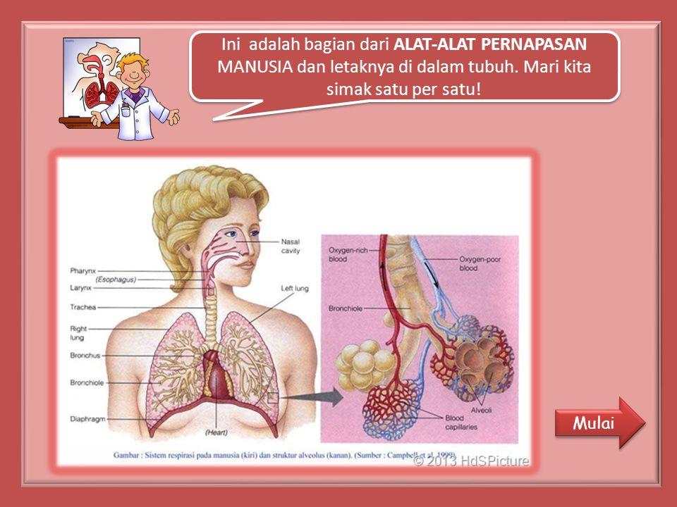Ini adalah bagian dari ALAT-ALAT PERNAPASAN MANUSIA dan letaknya di dalam tubuh.