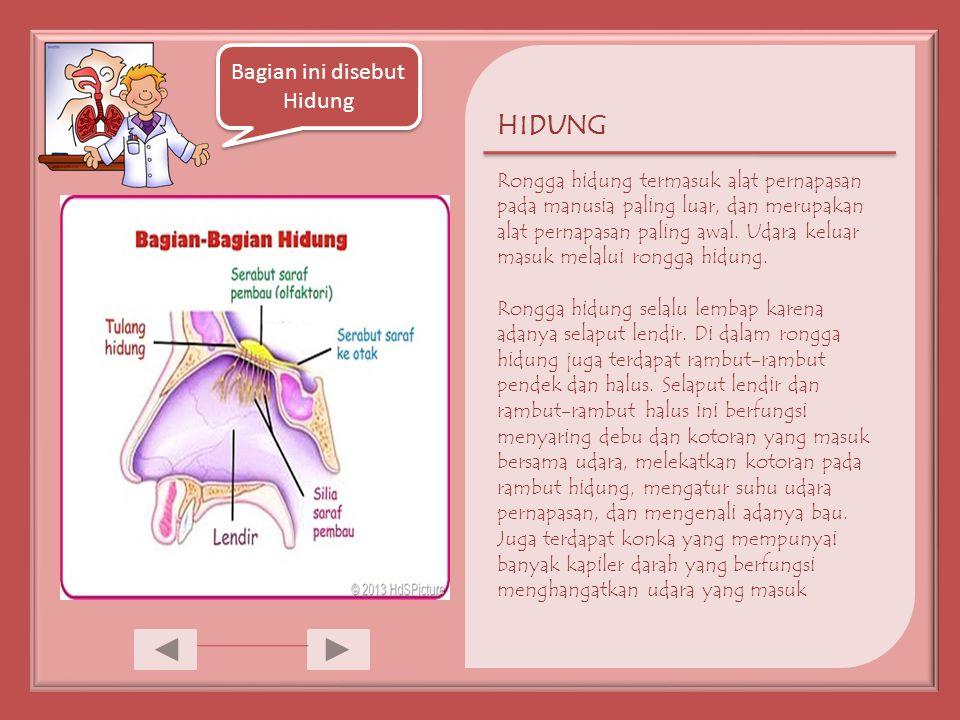 HIDUNG Rongga hidung termasuk alat pernapasan pada manusia paling luar, dan merupakan alat pernapasan paling awal.