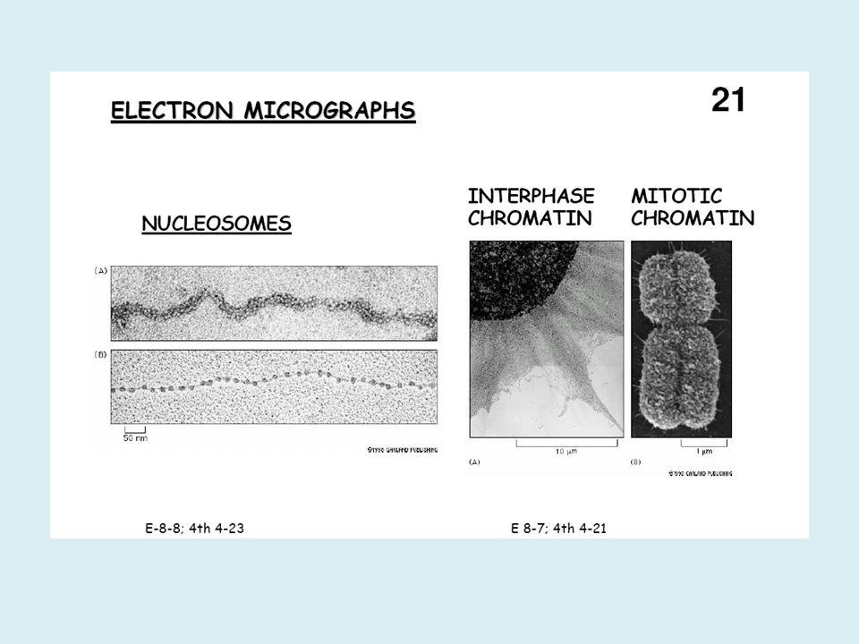Jumlah kromosom Gamet mengandung hanya 1 set kromosom Haploid (n) Sel somatik mengandung 2 set kromosom 2n : Diploid
