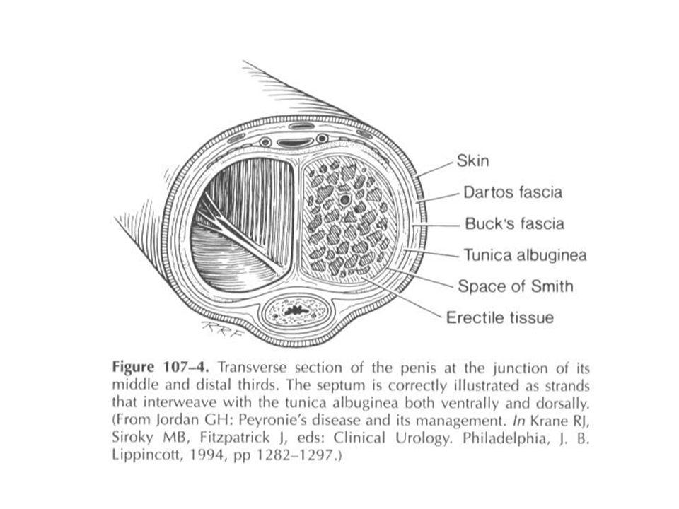 A N A T O M I Urethra perempuan, pada perempuan dewasa panjang sekitar 4 cm dia.
